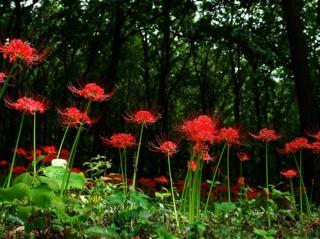 Lycoris radiata, lis araignée : plantation, culture, entretien