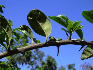 Maclura pomifera : rameau épineux