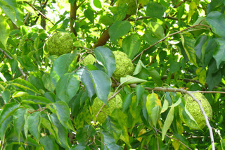 Oranger des Osages, Maclura pomifera