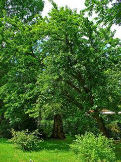 Maclura pomifera, oranger des Osages