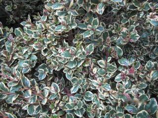 Myrtus apiculata (M. luma) 'Glanleam Gold'