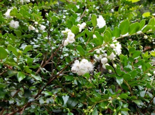 Myrtus luma, Luma apiculata