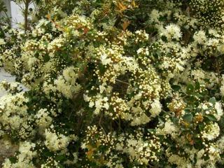 Myrte du Chili, Myrtus luma, Luma apiculata : plantation, culture