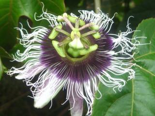 Passiflora edulis (fleur du fruit de la passion)