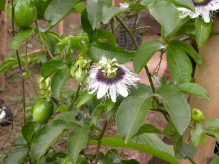 Passiflore : fleurs et fruits