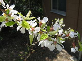 Prunus tomentosa : fleurs