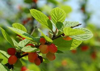 Prunus tomentosa : fruits