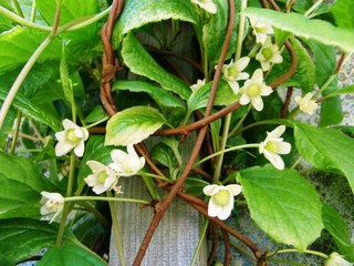 Schisandra chinensis : fleurs