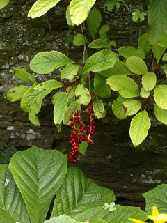 Schisandra grandiflora : fruits