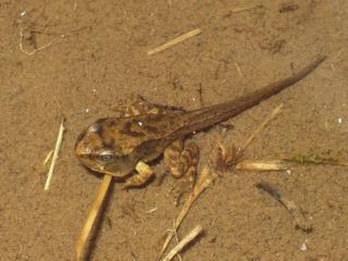 Têtard de grenouille rousse stade 4 pattes