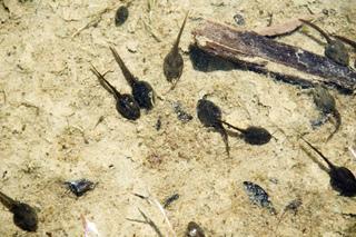 Têtards de Rana temporaria (grenouille rousse)