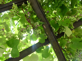 Vigne et raisins sur une treille