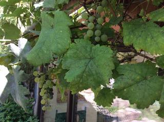 Vigne atteinte d'oïdium