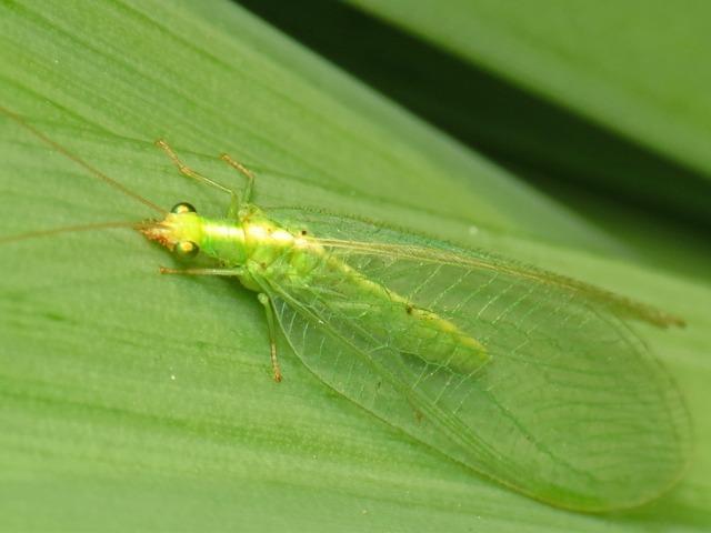 La chrysope, un insecte auxiliaire bien utile