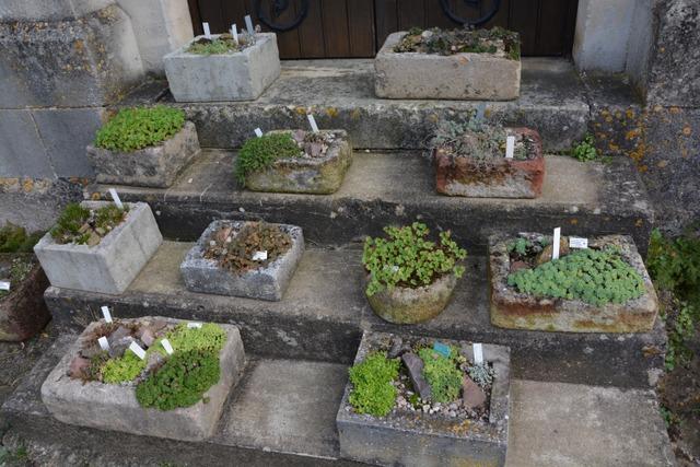 Collection de plantes alpines dans des auges en pierre