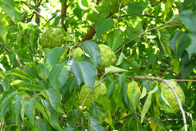 Maclura pomifera, oranger des Osages : plantation, culture
