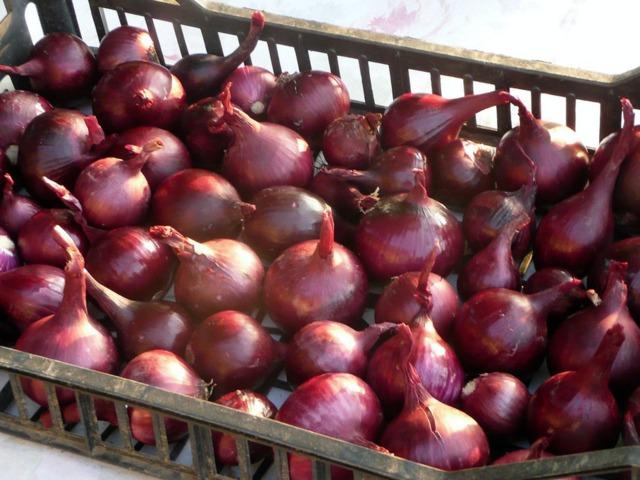 Quand planter les oignons rouges haricot partie planter vos oignons quand planter les oignons - Quand arracher les oignons ...