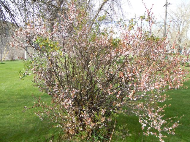 Ragouminier, Prunus tomentosa : plantation, culture, entretien