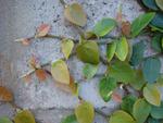 Ficus pumila, figuier rampant