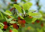 Ragouminier, Prunus tomentosa