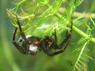 Argyronète, araignée aquatique