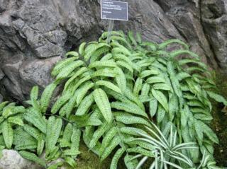 Coniogramme emeiensis, fougère bambou