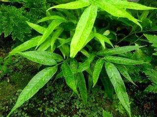 Fougère bambou, Coniogramme : plantation, culture, entretien