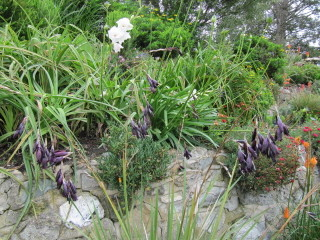 Dierama igneum à fleurs pourpres