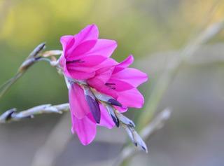 Dierama pulcherrimum : fleurs