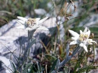 Edelweiss, fleur