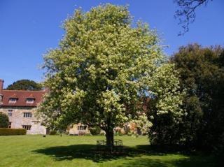 Sorbus aria, alisier blanc planté en isolé