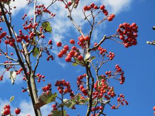 Sorbus intermedia en automne, alisier de Suède