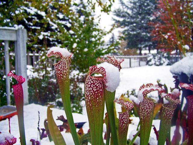 Des plantes carnivores qui résistent au froid