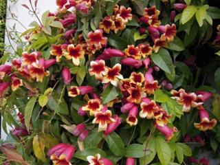 Bignonia capreolata / D.R.