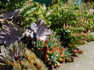 Plantes grasses en bordure d'allée
