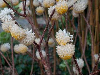 Edgeworthia chrysantha 'Grandiflora' / D.R.