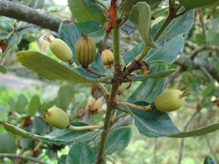 Fruits de Eucryphia cordifolia