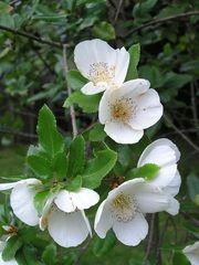 Eucryphia × nymansensis 'Nymansay'