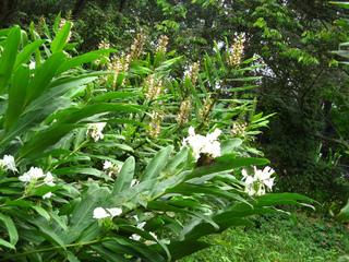 Gingembre blanc, Hedychium coronarium (premier plan)