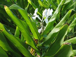 Hedychium coronarium : fleurs et feuillage