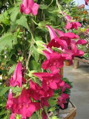 Lophospermum rose