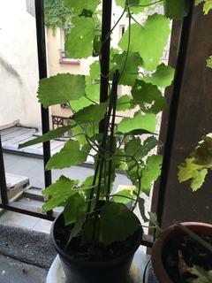 Lophospermum en pot sur un balcon