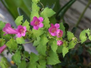 Lophospermum