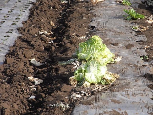 Chou chinois : semis, culture, récolte et variétés