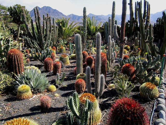 Cactus et succulentes aux Canaries