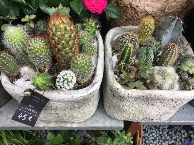 Compositions de cactus chez un fleuriste (Cactus et plantes grasses)