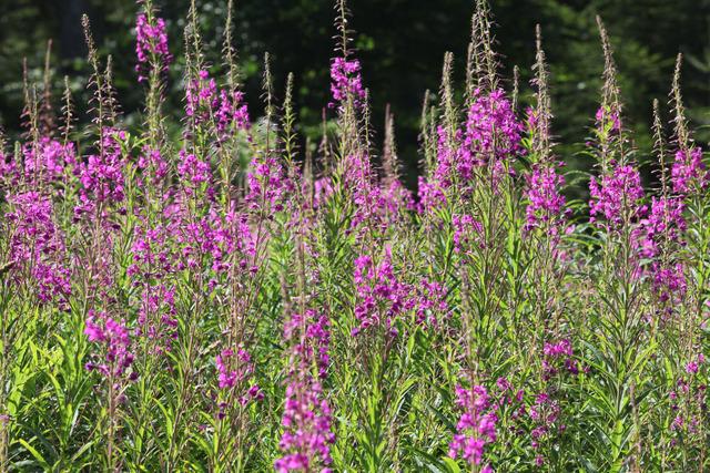 Epilobe, Epilobium angustifolium (Flore de montagne)