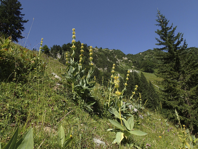 Gentiane jaune, Gentiana lutea (Flore de montagne)