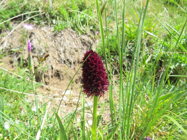 Nigritelle noire, Gymnadenia rhellicani (Flore de montagne)