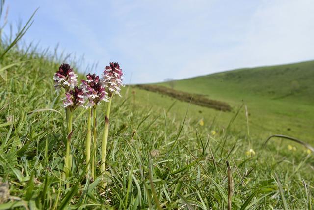 Orchis brûlé, Neotinea ustulata (Flore de montagne)